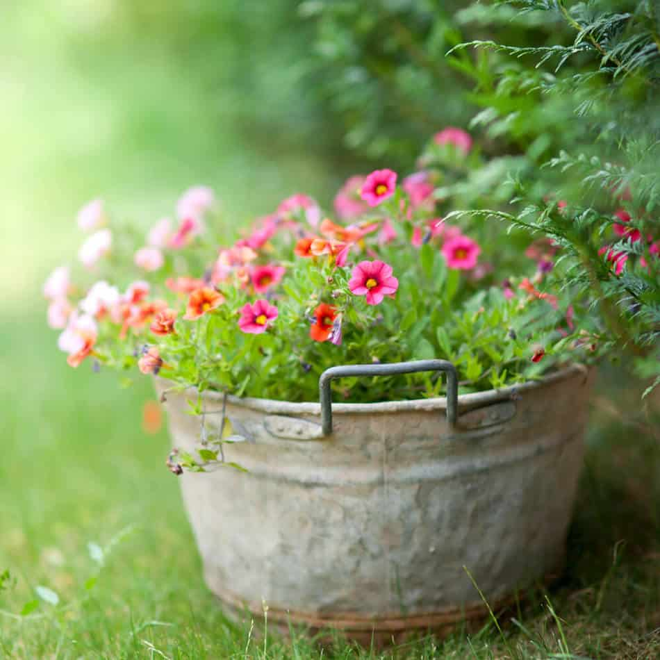 These pink flowers in a vintage washtub add an interesting design element to a garden without the work of building a raised bed.